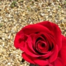 thumbnail for item A beautiful red birthday rose